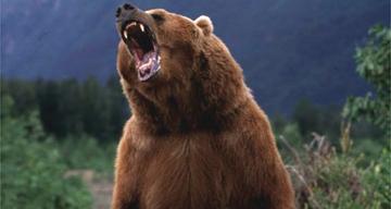 The Bear Growls
