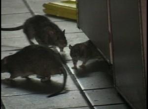Rats Gone Wild